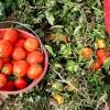 دانلود گزارش کارآموزی رشته مهندسی کشاورزی کاشت گوجه فرنگی