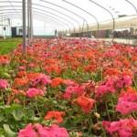 دانلود پروژه کارآفرینی تولید گل های زینتی