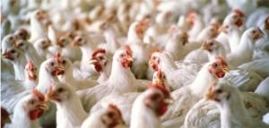 دانلود پروژه کارآفرینی مرغداری (پرورش مرغ تخم گذار)