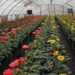 دانلود پروژه کار آفرینی پرورش گل و گياه در گلخانه